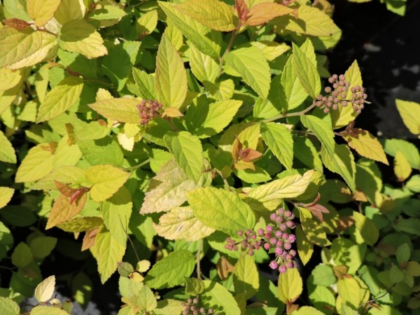Sommerspiere 'Golden Princess' (Spiraea japonica 'Golden Princess')
