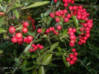Feuerdorn 'Red Column' (Pyracantha 'Red Column')