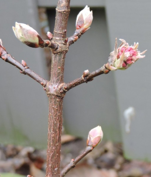 Viburnum bodnantense 'Dawn' - (Winter-Schneeball 'Dawn')