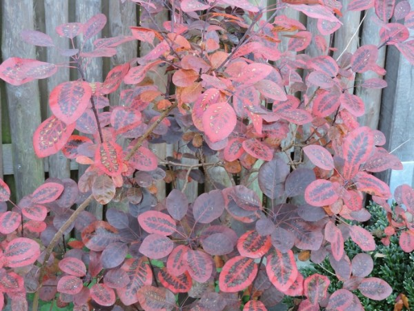Cotinus coggygria 'Royal Purple' - (Roter Perückenstrauch 'Royal Purple')