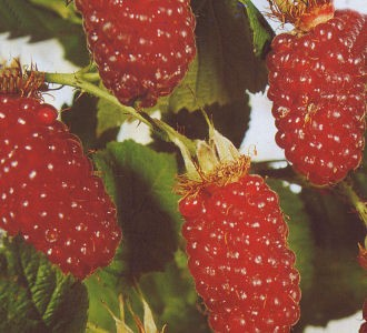 Rubus 'Tayberry'® - (Him-Brombeere 'Tayberry'®)