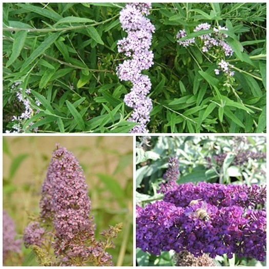 3 Schmetterlingsflieder, Buddleja alternifolia, empire blue, black knight 15-20 cm Topfpflanze
