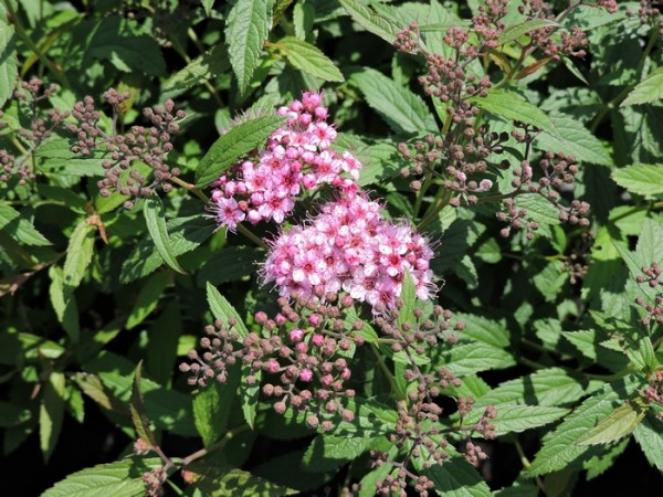 Rote Sommerspiere 'Anthony Waterer' - (Spiraea japonica 'Anthony Waterer')